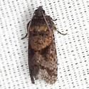 Cryptaspasma Moth - Hodges #2704.1 - Cryptaspasma bipenicilla