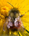 bumblebee - Bombus melanopygus