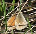 Prairie Ringlet - Coenonympha tullia