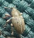Tychius stephensi