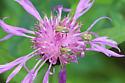 Adelphocoris lineolatus - Alfalfa Plant Bug - Adelphocoris lineolatus