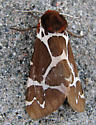 Great Tiger Moth - Arctia caja