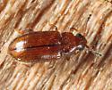 Loberus impressus? - Loberus impressus - female
