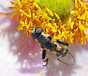 Syrphidae from Oregon - Syritta pipiens