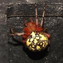 Araneidae, Marbled Orbweaver, dorsal - Araneus marmoreus - female