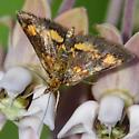 Orange mint moth perhaps? - Pyrausta orphisalis