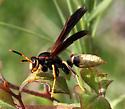 Hymenoptera-Vespoidea-Polistes - Polistes comanchus