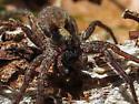 Wolf Spider - Alopecosa