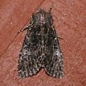 Mniotype tenera - Mniotype