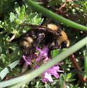 bumble bee  - Bombus insularis - female