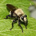 Robber Fly - Laphria divisor