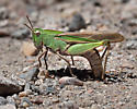 ID this grasshopper - Chortophaga viridifasciata - female