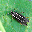 White-lined concealer moth - Ethmia albistrigella