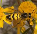 Scoliid Wasp ? - Dielis trifasciata