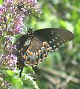 Spicebush Swallowtail - Papilio troilus - female