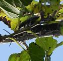 Eyed Click Beetle  - Alaus oculatus - male - female