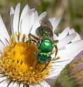 metalic green bee - Augochloropsis