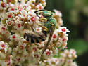 Green Metallic Bee - Agapostemon melliventris