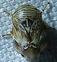 Clastoptera sp. - Clastoptera