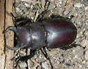 Stagg Beetle - Lucanus mazama