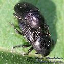 Weevil 05 - Baris - male - female