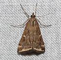 Beet Webworm Moth - Loxostege munroealis