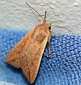 Unidentified Moth - Mythimna unipuncta