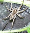 Another wolf spider! - Hogna antelucana