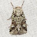 Implicit Arches Moth - Hodges #10414 - Lacinipolia implicata