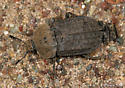 carrion beetle - Thanatophilus lapponicus