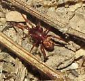 Tiny red spider - Steatoda erigoniformis