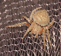 Spider male Tropical orb weaver - Eriophora edax - Eriophora edax - male