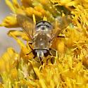 Weird markings on Syrphid Fly - Polydontomyia curvipes