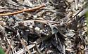 Camouflaged Grasshopper - Psinidia fenestralis - male