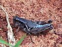 dark grasshopper - Melanoplus warneri - female