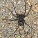 Black alpine spider 2 - Pardosa