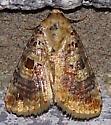 Diastema tigris