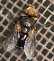 tachinid fly - Gonia frontosa - male