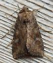 Loscopia velata (Veiled Ear Moth) - Loscopia velata