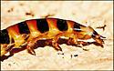 Beetle Larvae?