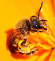 What is this Bee? - Halictus farinosus - female