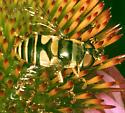ID request , Fly,  Bee Mimic - Eristalis transversa