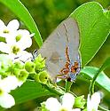 Dusky-blue Groundstreak - Calycopis isobeon