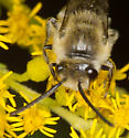 2011 Sandy Hook Bioblitz Bee #1 - Colletes