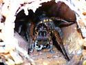 Tigrosa grandis With Eggsac - Tigrosa grandis - female