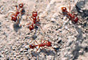 Harvester Ants - Pogonomyrmex californicus