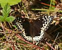 Puget Sound Silverspot aka Great Spangled Fritillary - Speyeria cybele - female