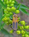 Goldenrod Soldier Beetle - Chauliognathus pensylvanicus