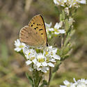 brown copper - Lycaena helloides