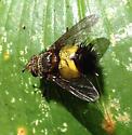 Xanthoepalpus bicolor